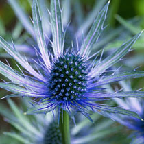 Sea-Holly-Thistle