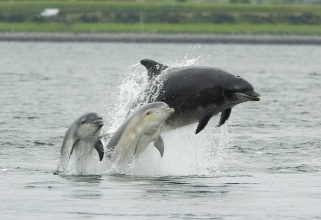 Bottlenose dolphin with young.